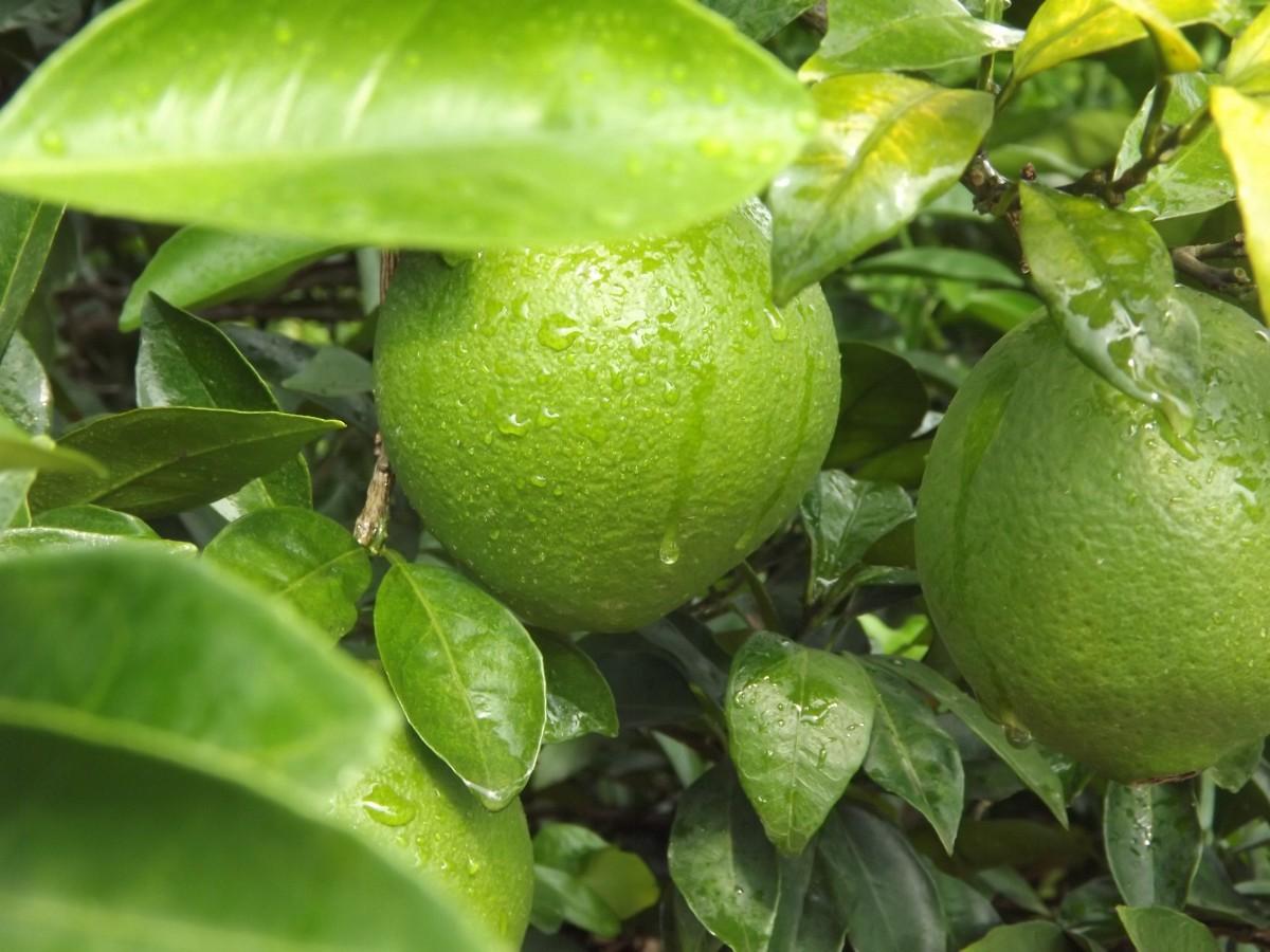 fruit_green_navel_orange-897038.jpg!d (1200×900)