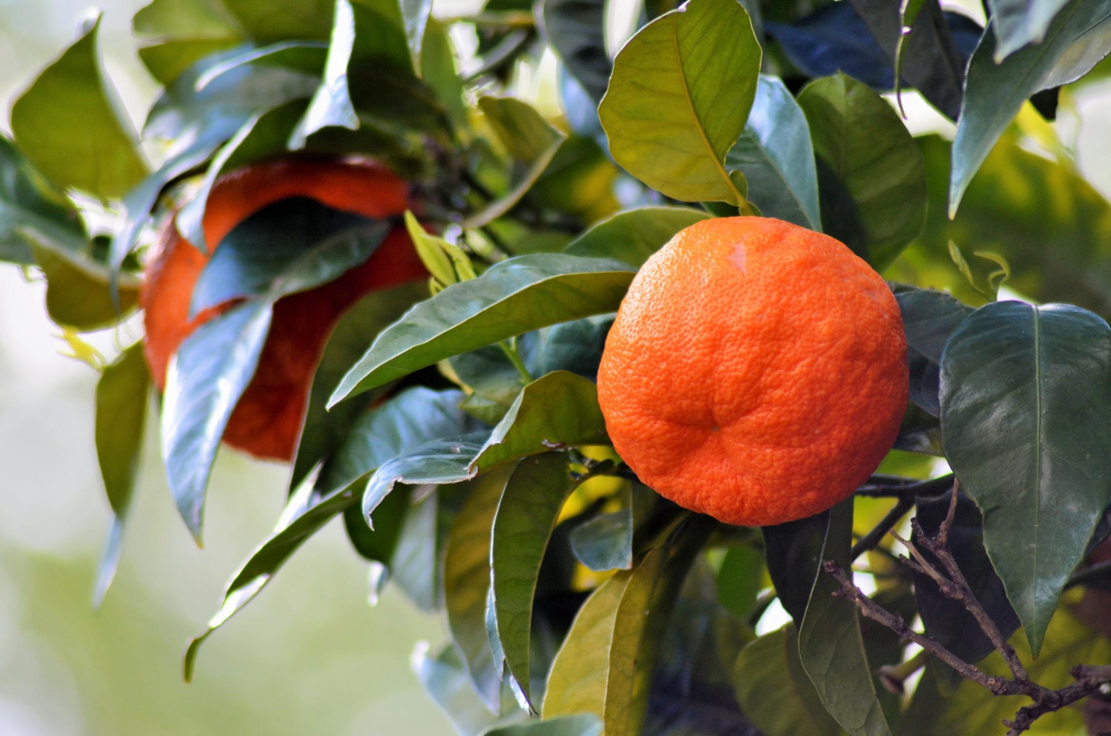 nature-branch-plant-fruit-leaf-flower-orange-food-produce-flora-fruit-tree-citrus-south-of-france-flowering-plant-bitter-orange-mandarin-orange-land-plant-599083.jpg (4928×3264)